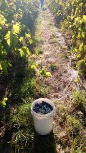 The McLaren Vale Grape Harvest